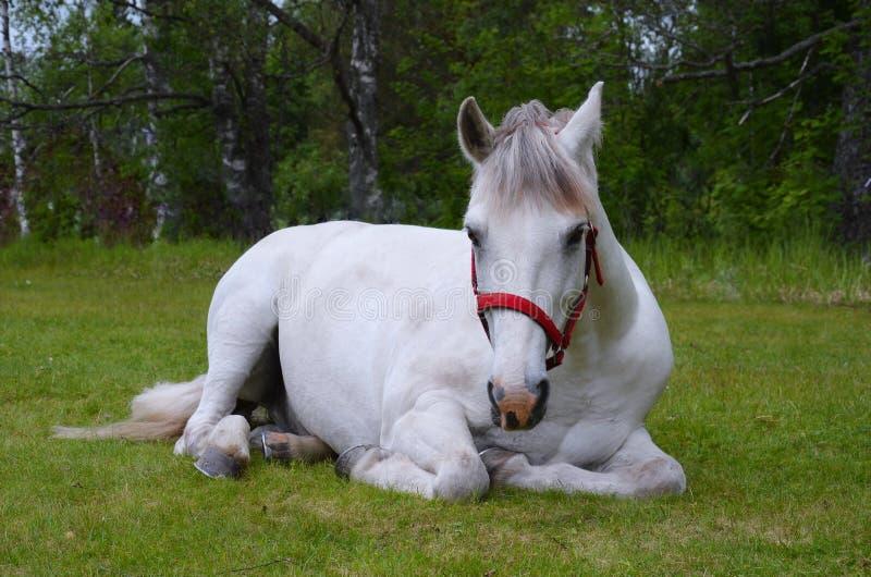 Vit häst som bär den röda halteren royaltyfria bilder