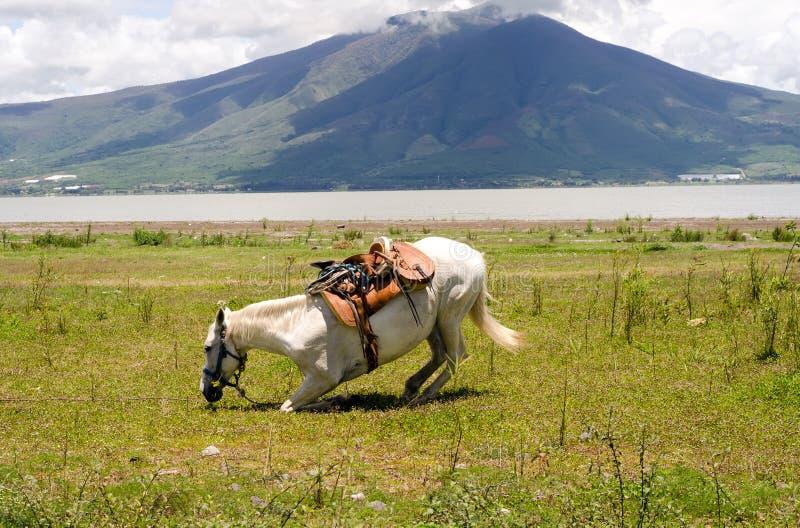 Vit häst som knealing för en rulle arkivfoto