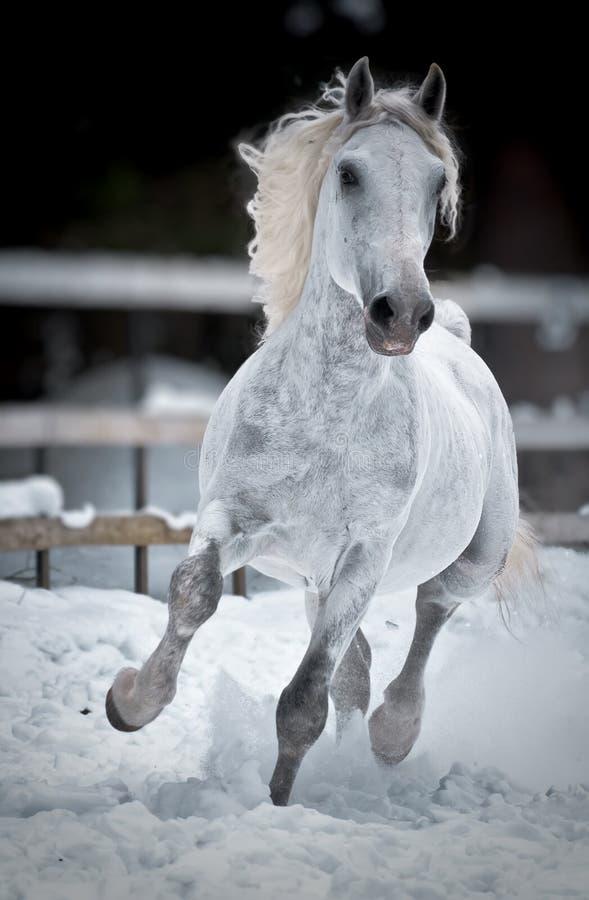 Vit hästkörningsgalopp i vinter royaltyfri fotografi