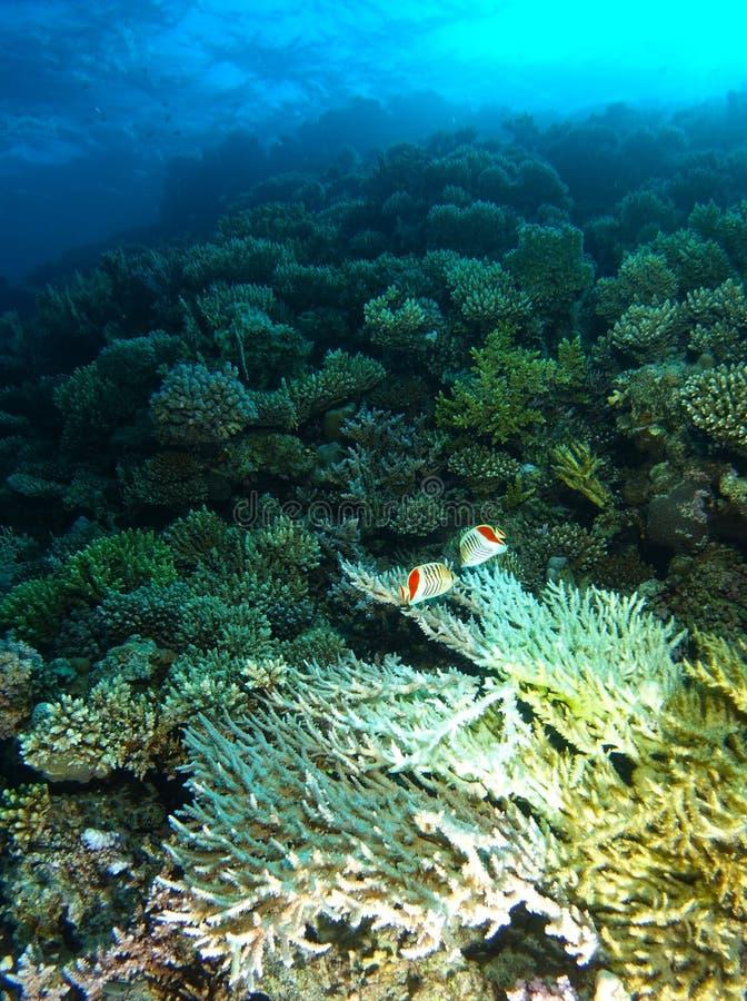 Vit hård korall inom korallträdgården arkivfoton