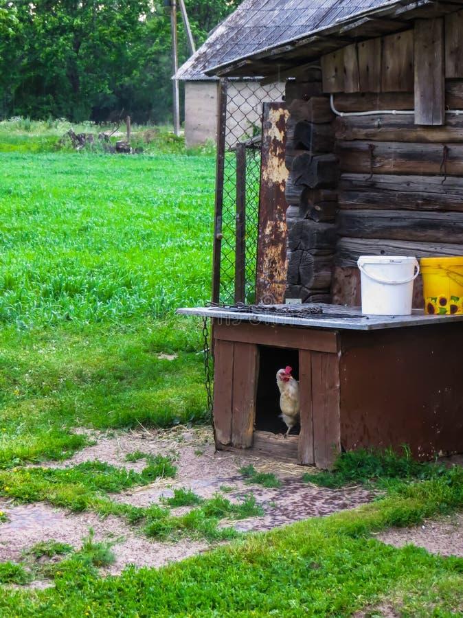 Vit höna klättrade in i en hundhundkoja i byn royaltyfri foto