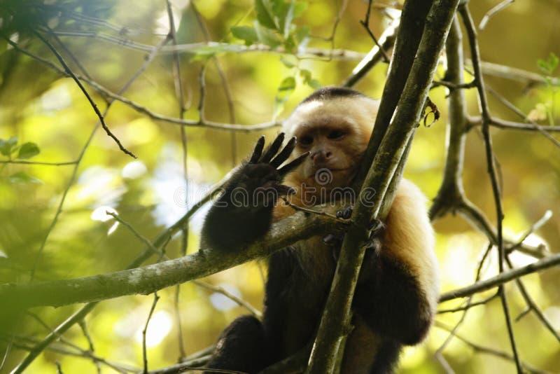 Vit-hövdad Capuchin som sitter på trädfilial i den tropiska regnskogen, Costa Rica, Central America, gullig svartvit apa arkivfoton