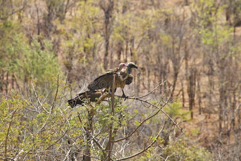 Vit-hövdad gam, Trigonoceps occipitalis, på trädet fotografering för bildbyråer