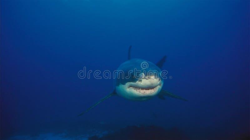 Vit haj/utmärkt vit haj i det djupblå vattnet royaltyfri foto