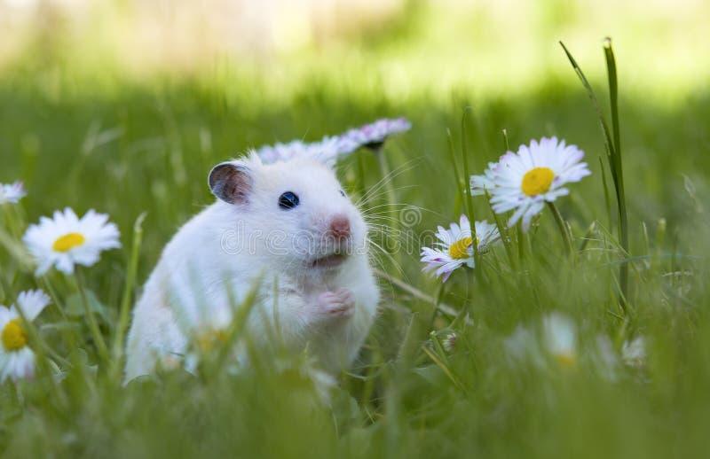 Vit hamster arkivbilder