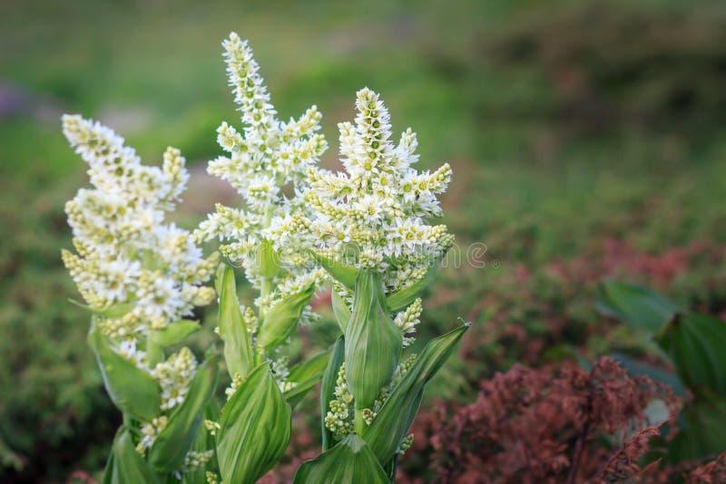 Vit Hellebore, blomma för berg för Veratrumalbum giftig arkivfoto