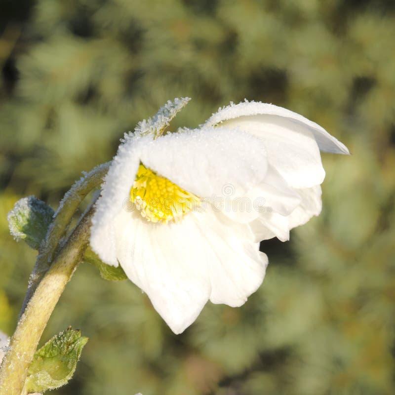 Vit Hellebore med rimfrost royaltyfri fotografi