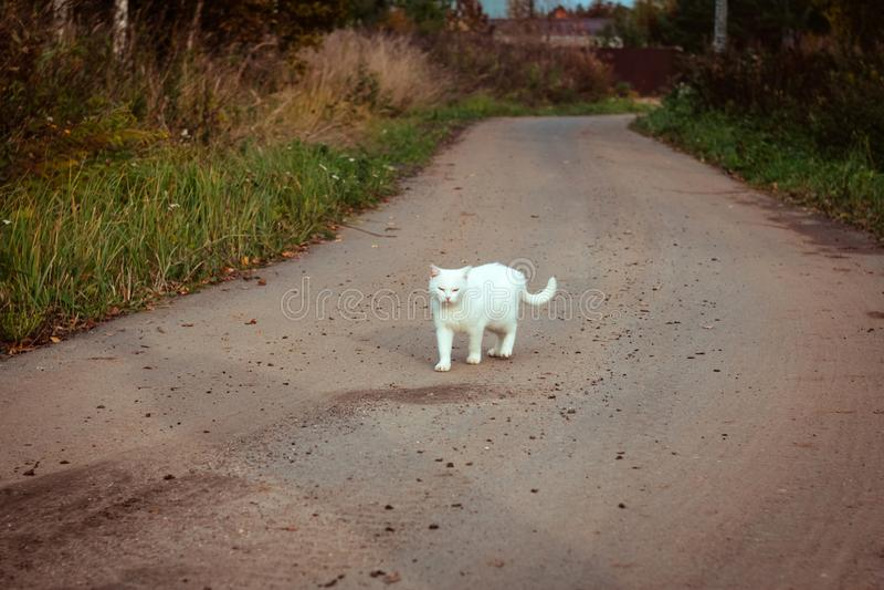 Vit hemlös härlig katt som går på vägen, att stirra och att skela En ensam tillfällig katt söker efter ett hus och en ägare arkivbilder
