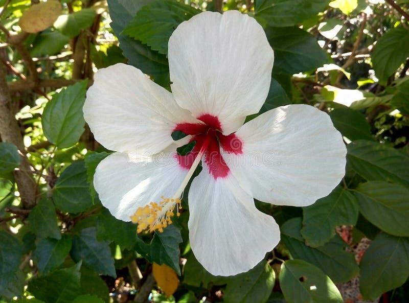 Vit hibiskus arkivbild