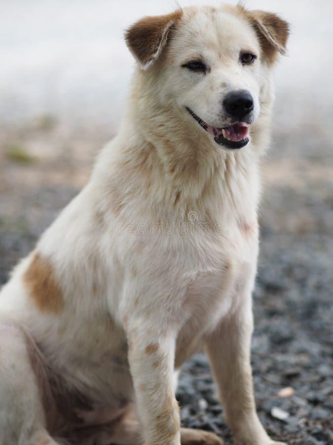 Vit hund för Closeupframsida som sitter på stengolv royaltyfria foton