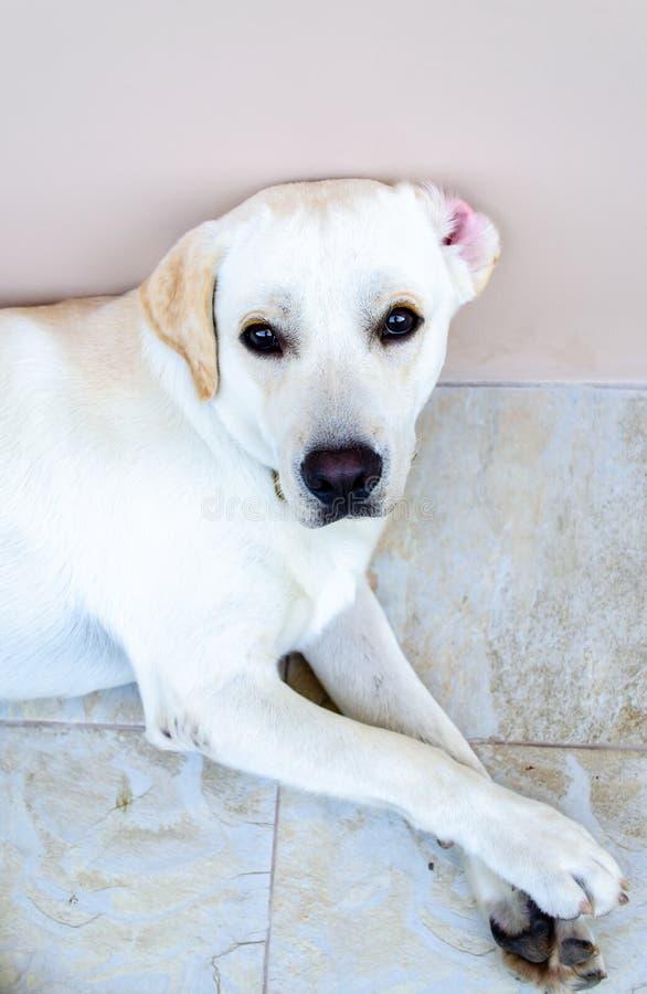 Vit hund för husdjur royaltyfri bild