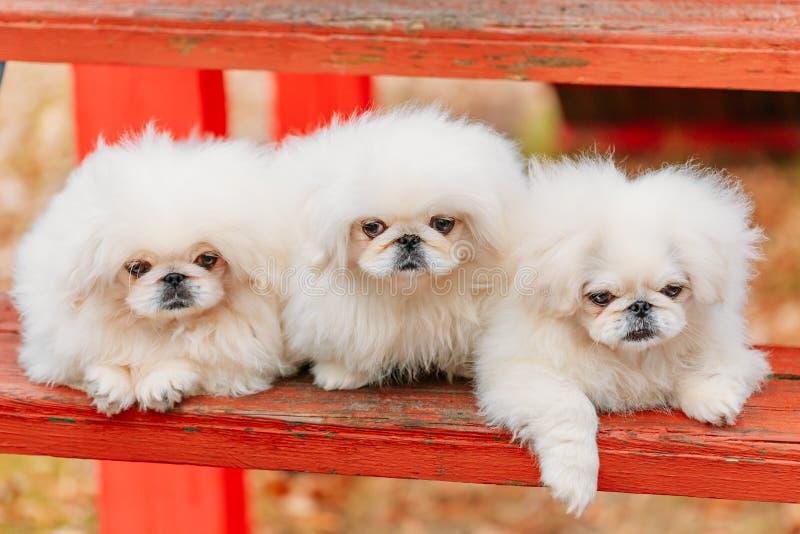 Vit hund för valp för valp för pekinespekinespekines fotografering för bildbyråer