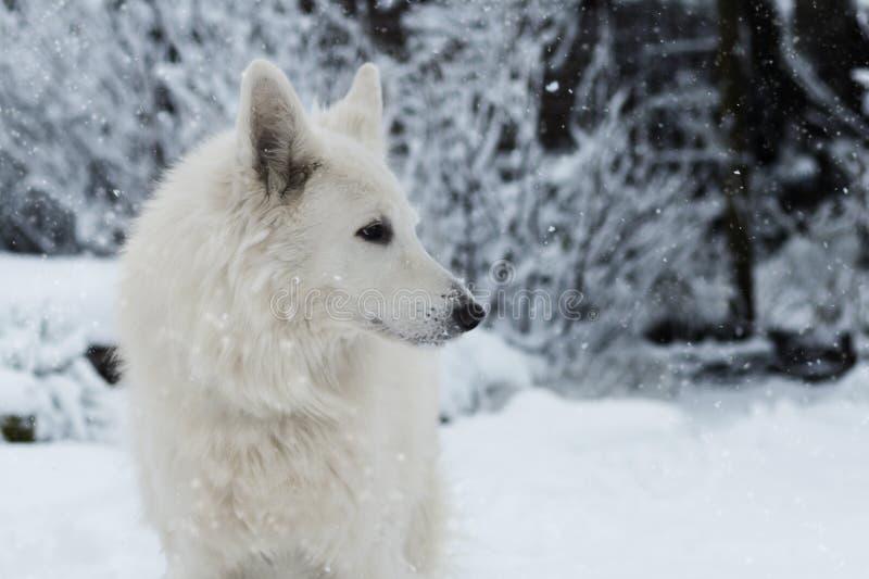 Vit hund i snön fotografering för bildbyråer