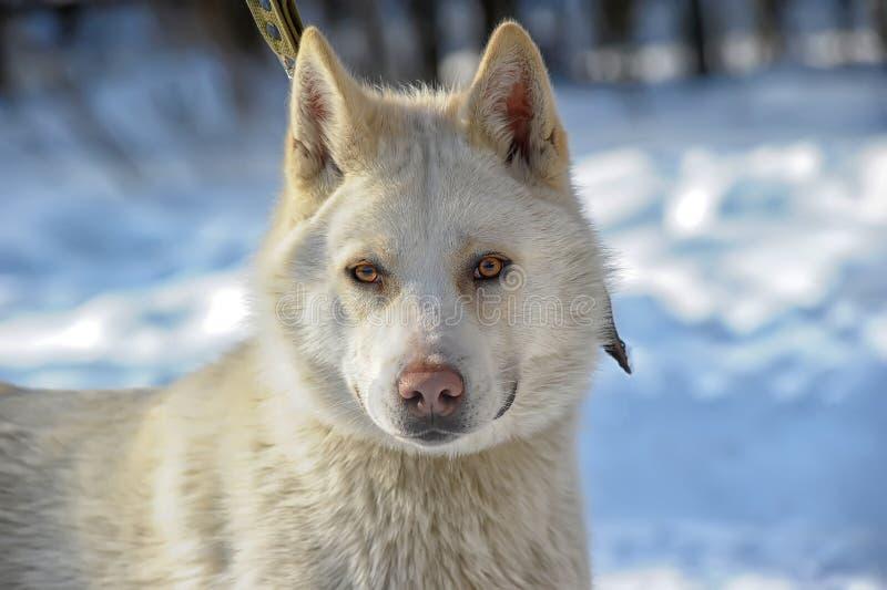 Vit hund på snön arkivbilder