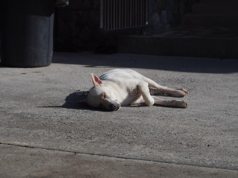 Vit hund som sover på konkret golv för att motta värmen av morgonsolen av dagen royaltyfri foto