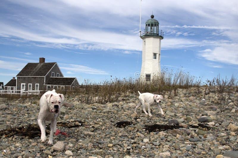 Vit hundkapplöpning på en stenig strand med fyren i bakgrunden royaltyfri fotografi