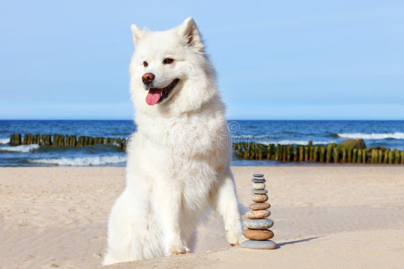 Vit hundSamoyed och vaggar zen på stranden royaltyfri foto