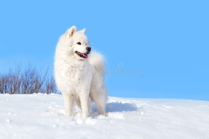 Vit hundSamoyed på bakgrunden av nollan för vit snö och för blå himmel royaltyfria bilder
