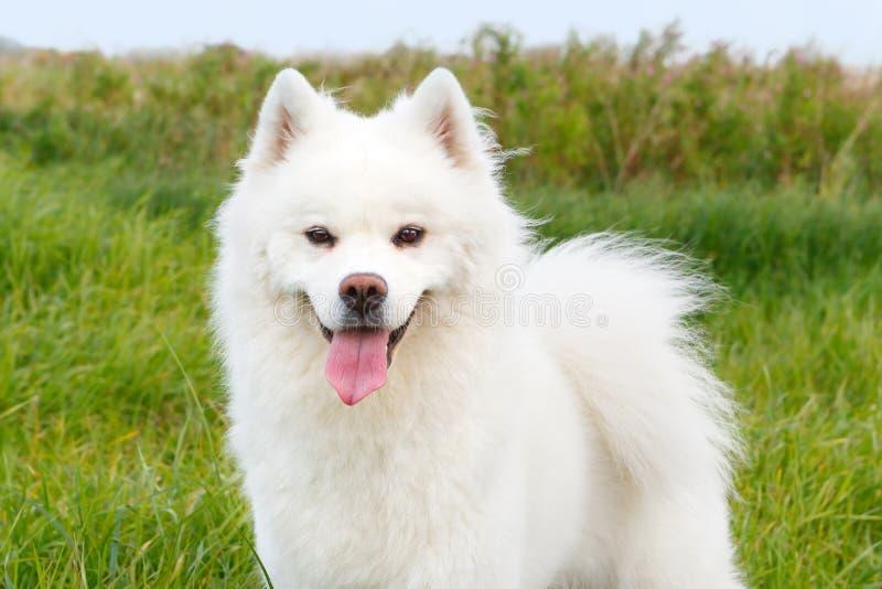 Vit hundSamoyed på en bakgrund av grönt gräs i sommaren arkivfoto
