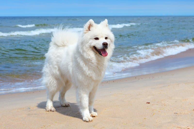 Vit hundSamoyed står nära havet på en solig dag royaltyfria bilder