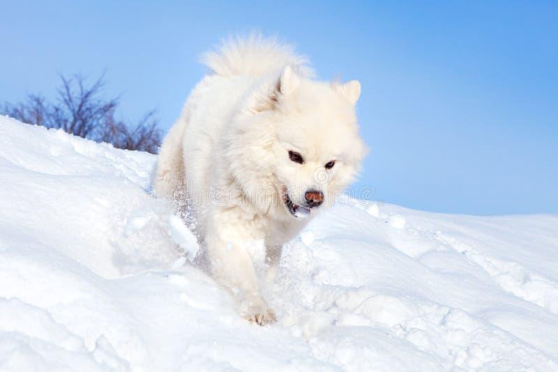 Vit hundSamoyedspring på den insnöade soliga vinterdagen royaltyfri fotografi