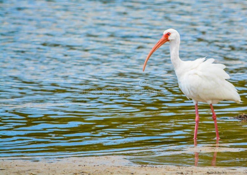Vit ibis på den vatten- reserven för citronfjärd i Cedar Point Environmental Park, Sarasota County Florida royaltyfri foto