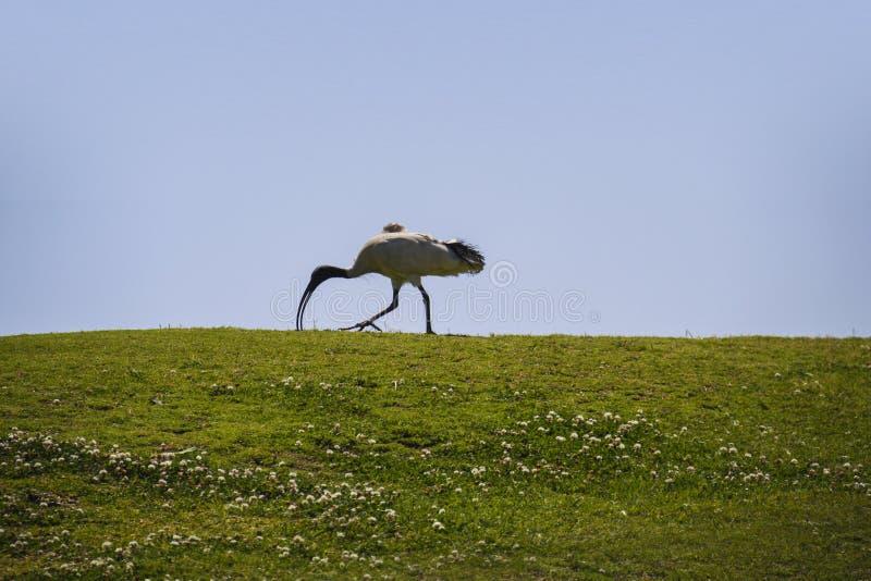 Vit ibisfågel som går på gräs arkivbilder