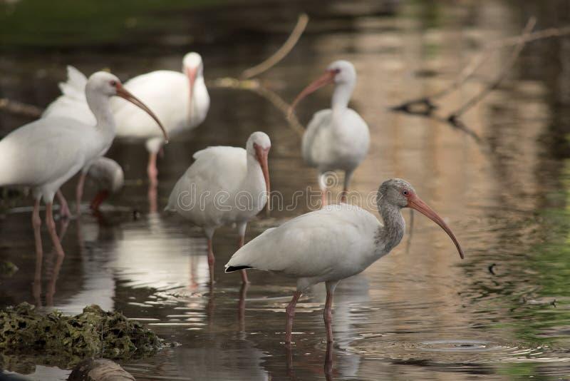 Vit ibisflock som vilar på ett ben i ett stillsamt damm royaltyfri foto
