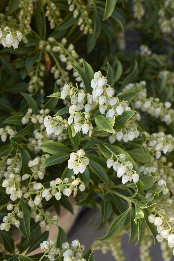 Vit inflorescence av Pierisjaponicabusken arkivfoto