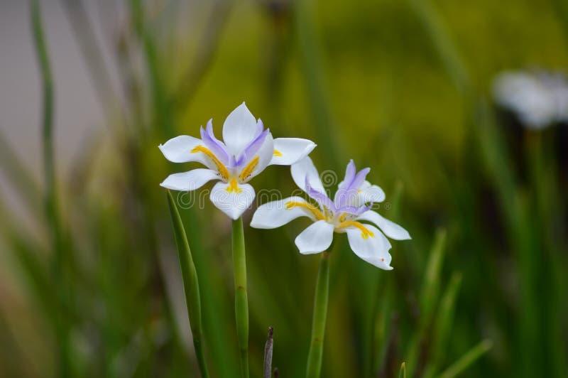 Vit iris med lilamitten royaltyfri bild