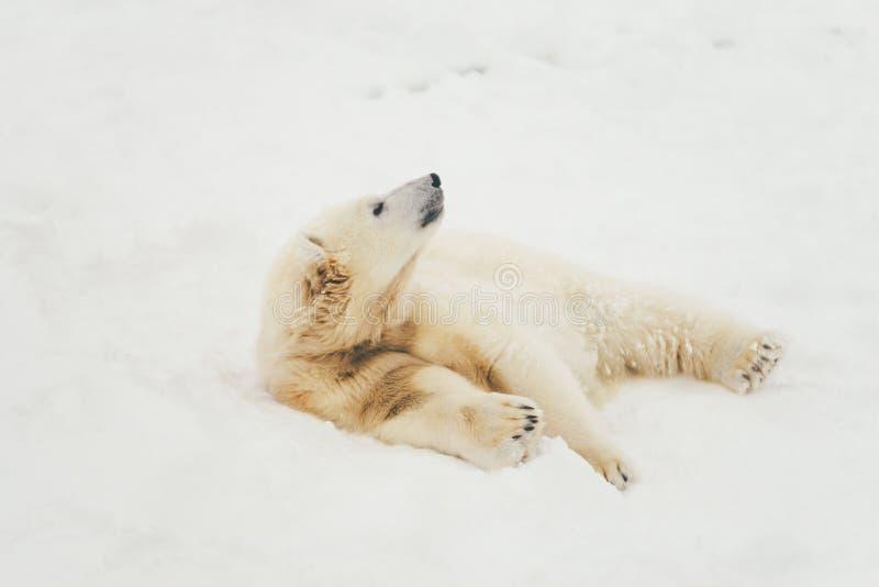 Vit isbjörn i snöskog fotografering för bildbyråer