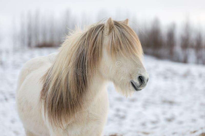 Vit isländsk häst med den mest härliga mannen som, om den hade precis utformats arkivbild