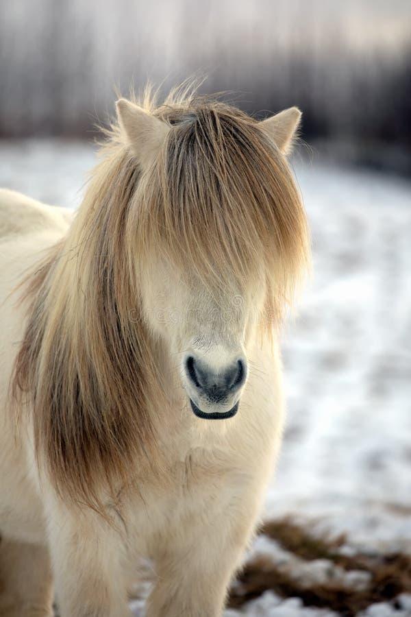 Vit isländsk häst med den mest härliga mannen som, om den hade precis utformats arkivfoto