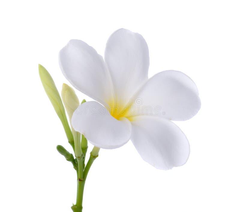 Vit isolerad vit bakgrund för frangipani blomma royaltyfri fotografi