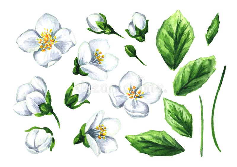 Vit jasminblomma- och sidauppsättning Dragen illustration för vattenfärg som hand isoleras på vit bakgrund stock illustrationer