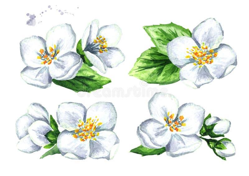 Vit jasminblommauppsättning Dragen illustration för vattenfärg som hand isoleras på vit bakgrund stock illustrationer