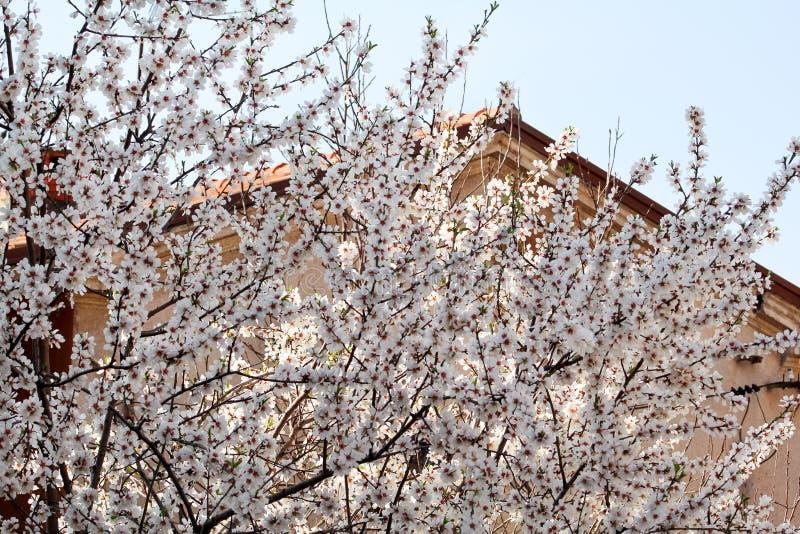 Vit körsbärsröd blomning och byggnad i bakgrundsblomningfruktträd/som blomstrar aprikons mot den blåa himlen arkivbild