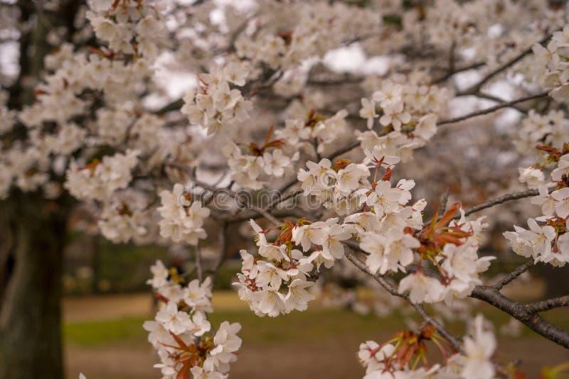 Vit körsbärsröd blossum med mjuk fokusbakgrund arkivfoton