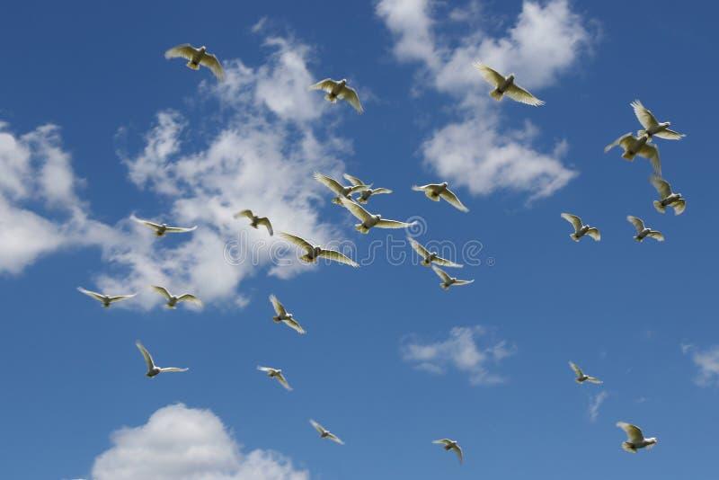 Vit Kal-synad kakadua arkivfoto