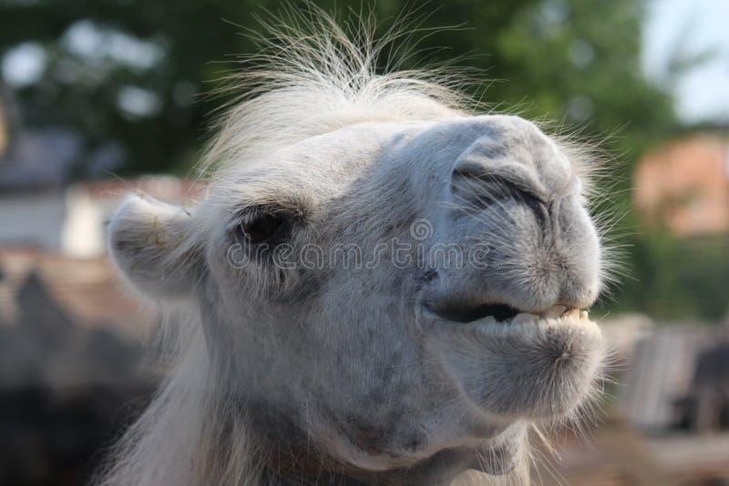 Vit kamel royaltyfria foton