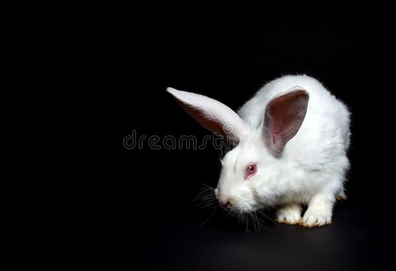 Vit kanin arkivfoto