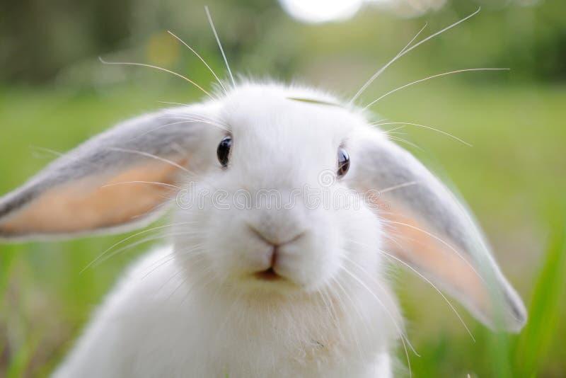 Vit kanin arkivfoton