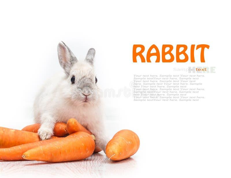 Vit kanin och en morot royaltyfri bild