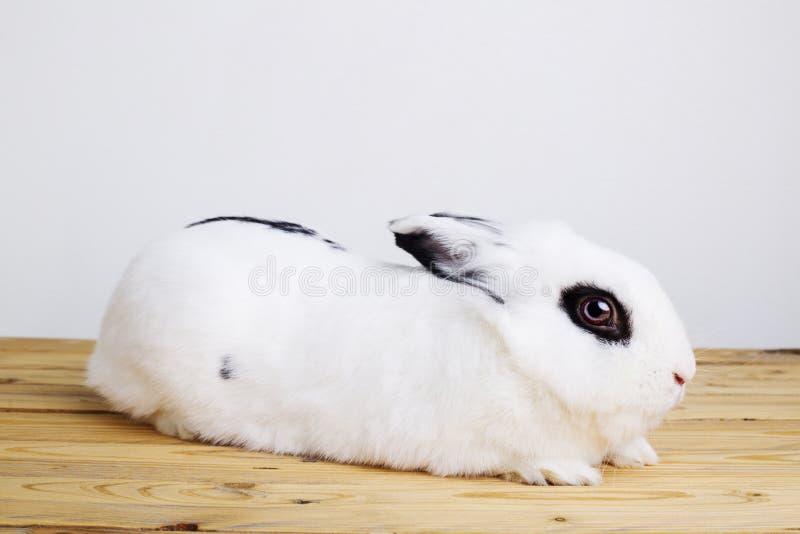 Vit kanin på den vita bakgrunden arkivbilder