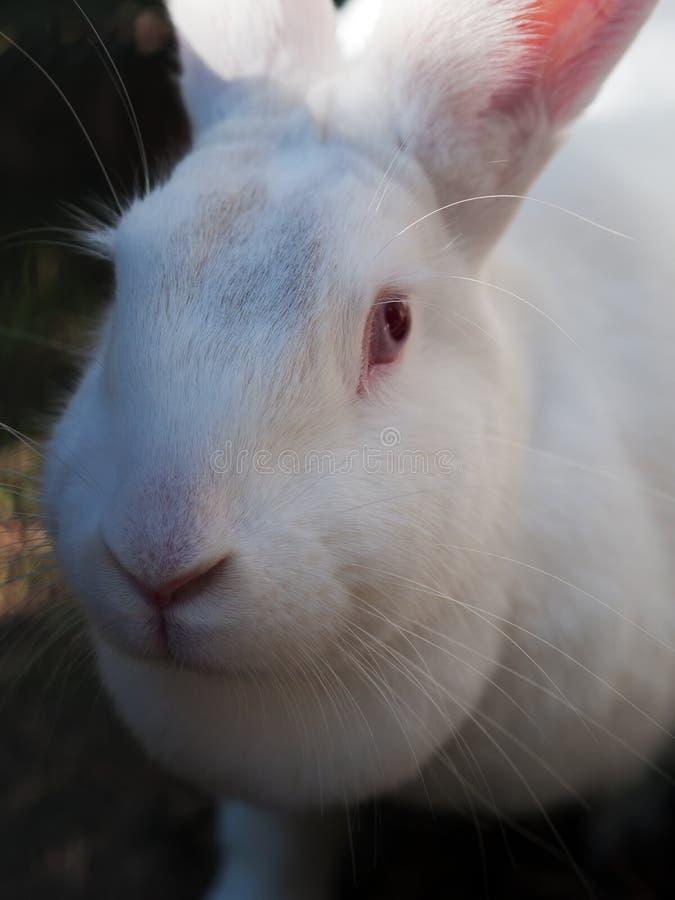 Vit kanincloseup fotografering för bildbyråer