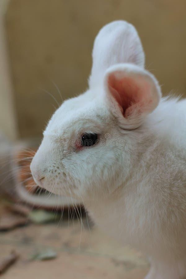 Vit kaninstående med suddighetsbakgrund fotografering för bildbyråer