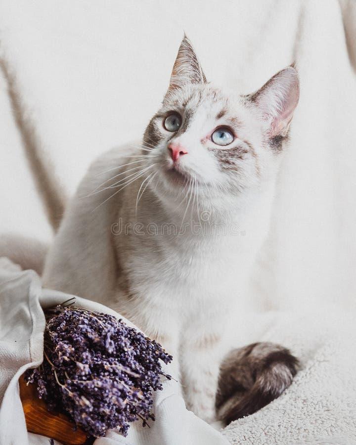 Vit katt med den fundersamma ståenden för blåa ögon med lavendel arkivfoto