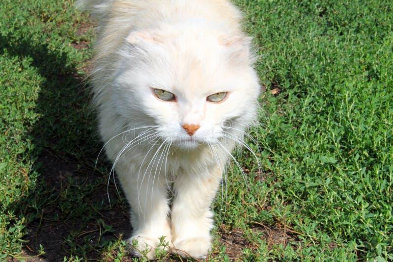 Vit katt med en allvarlig blick som kliver på det gröna gräset arkivbilder