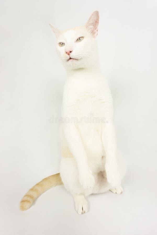 Vit katt med en vit bakgrund arkivfoto