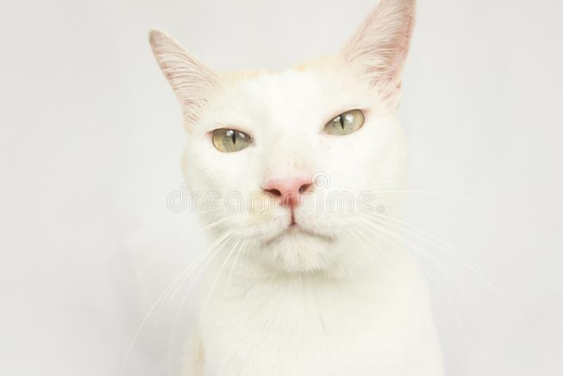 Vit katt med en vit bakgrund royaltyfri foto